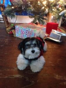 Matcha wants a Christmas cookie
