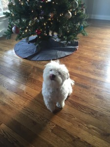 Chancho says Merry Christmas Kisses to Everyone at Heavenly Havanese